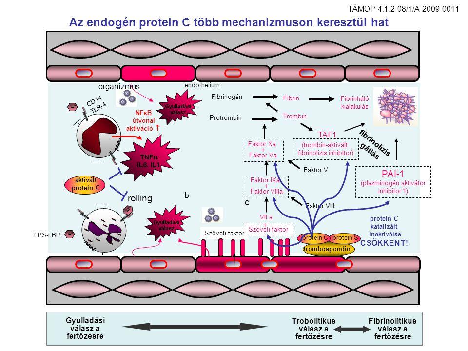 Az endogén protein C több mechanizmuson keresztül hat b Szöveti faktor c Faktor IXa + Faktor VIIIa Trombin Protrombin Fibrinogén Fibrin Fibrinháló kia