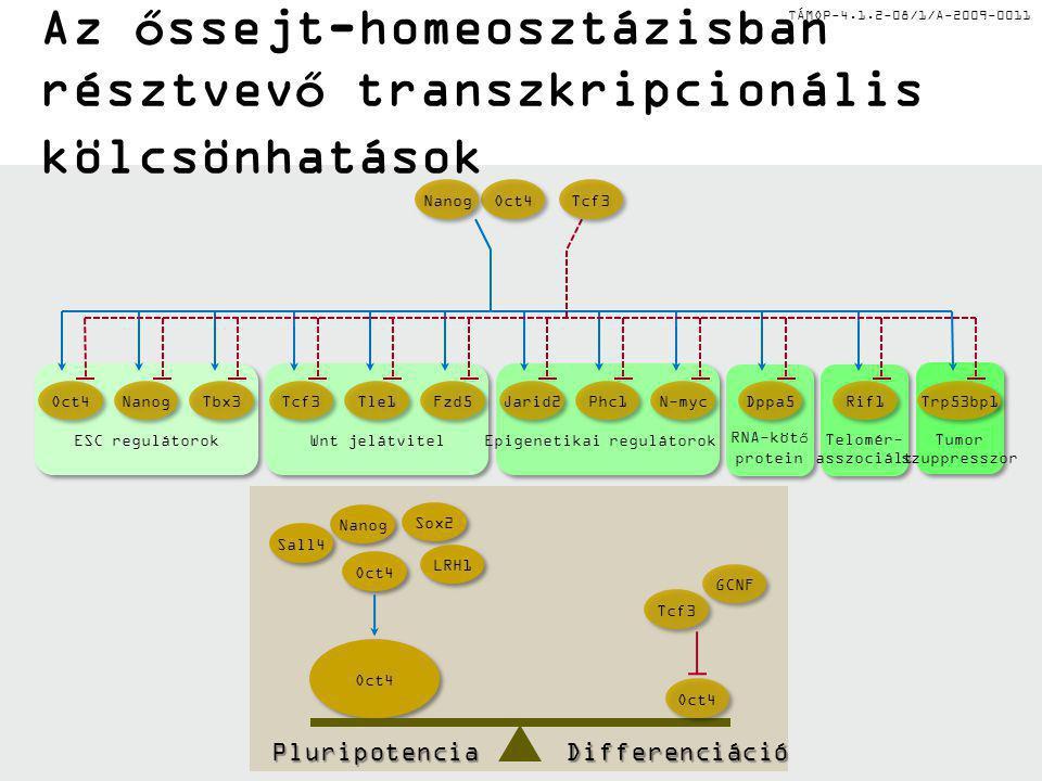 TÁMOP-4.1.2-08/1/A-2009-0011 Őssejt-mikrokörnyezet – az őssejt-fészkek egyes példái A petefészek germarium régiója, vagy a here apikális része (csíravonal-őssejt és testi őssejt) Az agy szubvenrikuláris zónája (idegi őssejt) Szőrtüsző-hagyma (hám-őssejt) Bélfodrok kripta-része (endodermális őssejt) Csontvelő (vérképző őssejt)