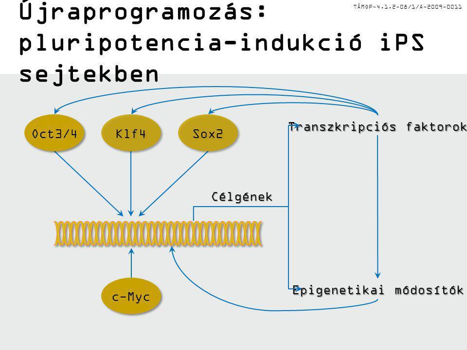 TÁMOP-4.1.2-08/1/A-2009-0011 Az ön-megújítás és differenciálódás transzkripcionális szabályozása Oct3/4, Nanog, Sox2, Stat3:Oct3/4, Nanog, Sox2, Stat3: proliferáció fenntartása Cdx2:Cdx2: Oct3/4 gátlása