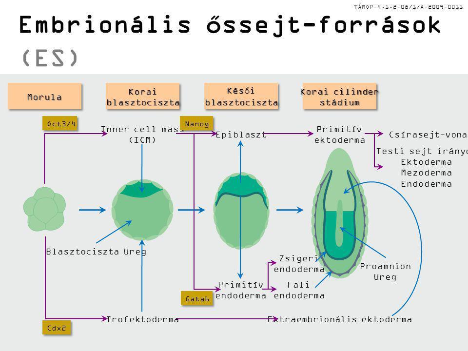 TÁMOP-4.1.2-08/1/A-2009-0011 Őssejtek forrásai és típusai: különböző eredet és differenciálódási spektrumok ES: Embrionális őssejtek a ICM régióból (inner cell mass) Primordiális csírasejtek (PGCs) → embrionális csírasejtek (EG) iPS: iPS: Nem-embrionális testi sejtek, melyeket specifikus kulcs-transzkriciós faktorral történő transzfektálással állítottak elő Oct4, Sox2, c- myc, Klf4 MSC: MSC: Csontvelő, zsírszövet, köldökvér, amnionfolyadék, placenta,fog-pulpa, inak, szinoviális hártya, vázizom környezetben előforduló mezenhimális őssejtek, melyek képesek az ön-megújításra és különböző irányú in vitro differenciálódásra mezenhimális sejtekké: oszteoblasztok, kondrociták, adipociták és mioblasztok.