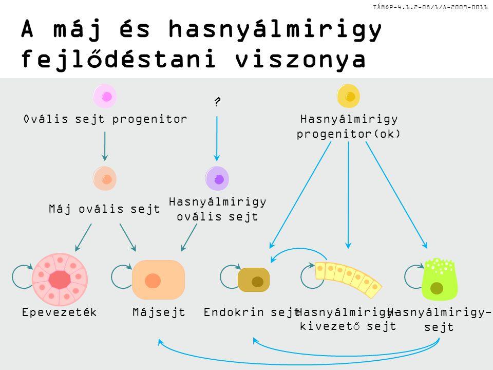 TÁMOP-4.1.2-08/1/A-2009-0011 A máj és hasnyálmirigy fejlődéstani viszonya Ovális sejt progenitor Máj ovális sejt EpevezetékMájsejt Hasnyálmirigy ováli