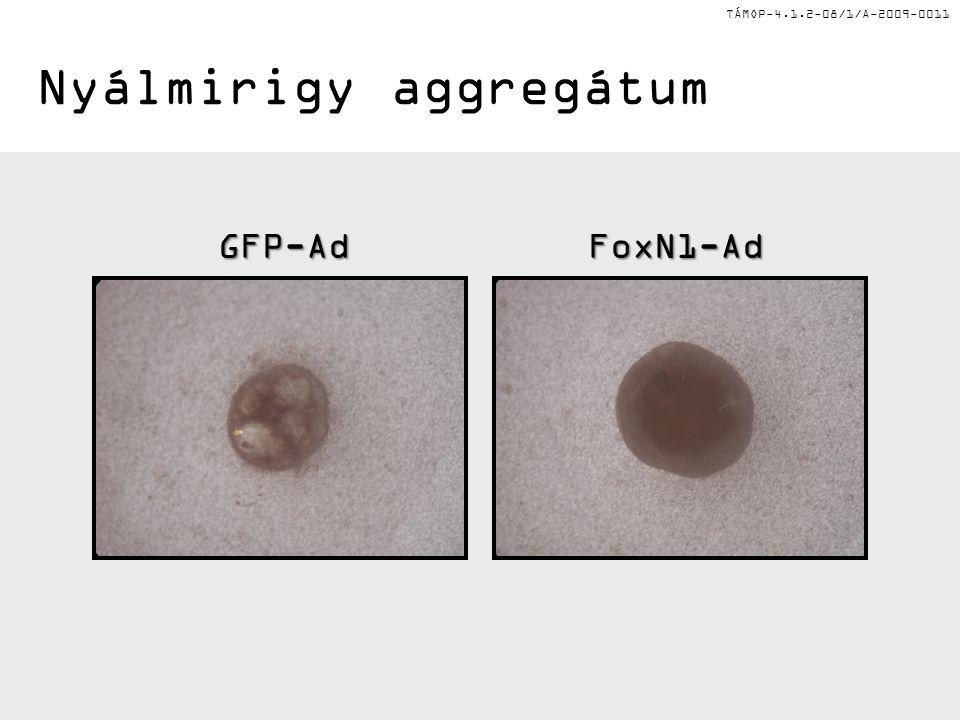 TÁMOP-4.1.2-08/1/A-2009-0011 Nyálmirigy aggregátum GFP-AdFoxN1-Ad