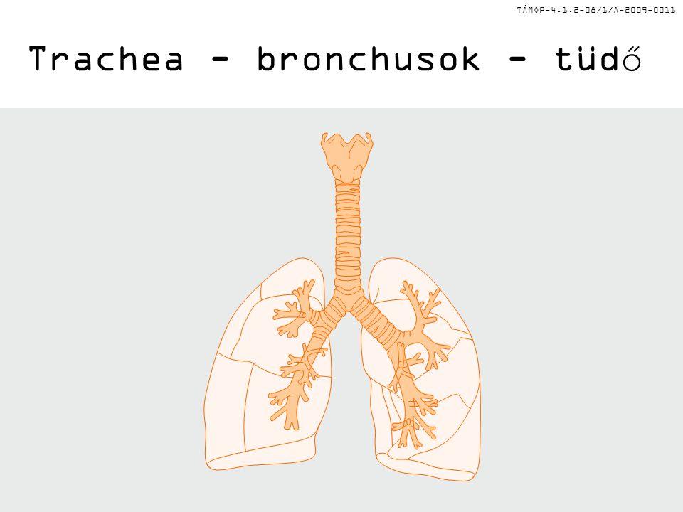 TÁMOP-4.1.2-08/1/A-2009-0011 Trachea - bronchusok - tüdő