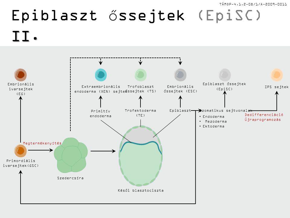 TÁMOP-4.1.2-08/1/A-2009-0011 I. Epiblaszt őssejtek (EpiSC) I. epiblaszt Az epiblaszt olyan szövet, amely az embrionális őssejtek kialakulását követő k