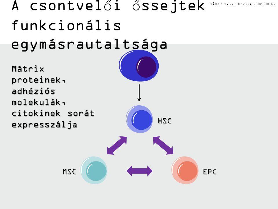 TÁMOP-4.1.2-08/1/A-2009-0011 Pericit ák SMC EC Szövetvonalak ontogenezise a csontvelőben HSCOszteoblasztokEPCMSC Stróma sejtek Limfoid progenitorok Mi