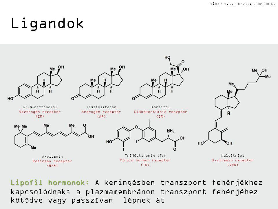 TÁMOP-4.1.2-08/1/A-2009-0011 Ligandok Lipofil hormonok: Lipofil hormonok: A keringésben transzport fehérjékhez kapcsolódnak; a plazmamembránon transzport fehérjéhez kötődve vagy passzívan lépnek át 17-  -ösztradiol Ösztrogén receptor (ER) Tesztoszteron Androgén receptor (AR) Kortizol Glükokortikoid receptor (GR) Kalcitriol D-vitamin receptor (VDR) Trijódtironin (T 3 ) Tiroid hormon receptor (TR) A-vitamin Retinsav receptor (RAR)
