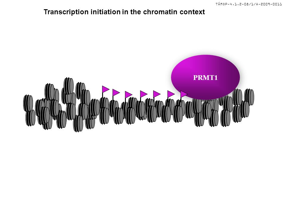 TÁMOP-4.1.2-08/1/A-2009-0011 Transcription initiation in the chromatin context PRMT1 HAT