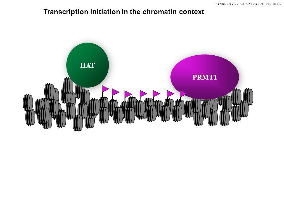 TÁMOP-4.1.2-08/1/A-2009-0011 Transcription initiation in the chromatin context HAT POL II