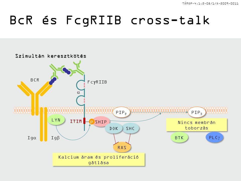 TÁMOP-4.1.2-08/1/A-2009-0011 BcR és FcgRIIB cross-talk Nincs membrán toborzás SHIP Fc  RIIB P  BCR Ig  Ig  ITIM LYN PLC  BTK RAS SHC DOK Szimultán keresztkötés Kalcium áram és proliferáció gátlása PIP 3 PIP 2