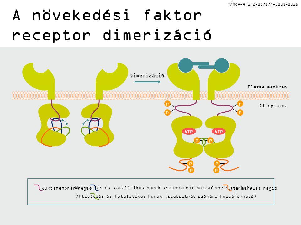 TÁMOP-4.1.2-08/1/A-2009-0011 Receptor tirozin kinázok autofoszforilációja p120 Ras-Gap p120 Ras-Gap PLC  Foszfotirozin Y559 Y581 Y716 Y741 Y751 Y771 Y1009 Y1021Foszfotirozin Y992 Y1045 Y1068 Y1086 Y1148 Y1173 PDGFR P P P P P P P P P P P P P P EGFR P P P P P P P P P P Shc SLP76 Abl Cbl PI3K IRS-1 GRB2 SRC SHP-1 STAT1 Crk Nck