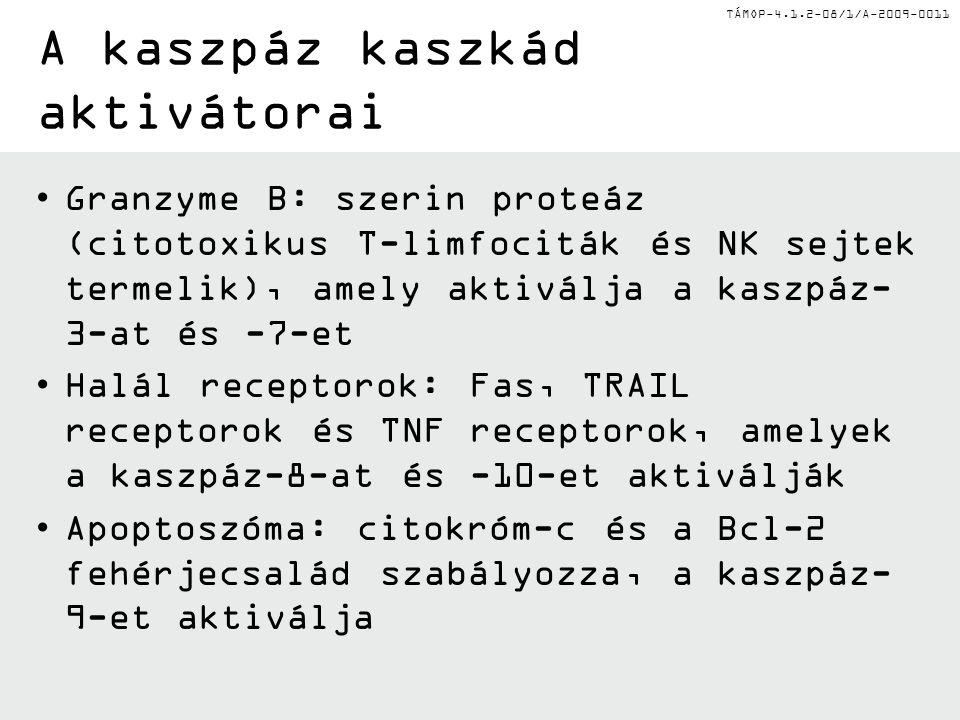 TÁMOP-4.1.2-08/1/A-2009-0011 A kaszpáz kaszkád aktivátorai Granzyme B: szerin proteáz (citotoxikus T-limfociták és NK sejtek termelik), amely aktiválja a kaszpáz- 3-at és -7-et Halál receptorok: Fas, TRAIL receptorok és TNF receptorok, amelyek a kaszpáz-8-at és -10-et aktiválják Apoptoszóma: citokróm-c és a Bcl-2 fehérjecsalád szabályozza, a kaszpáz- 9-et aktiválja