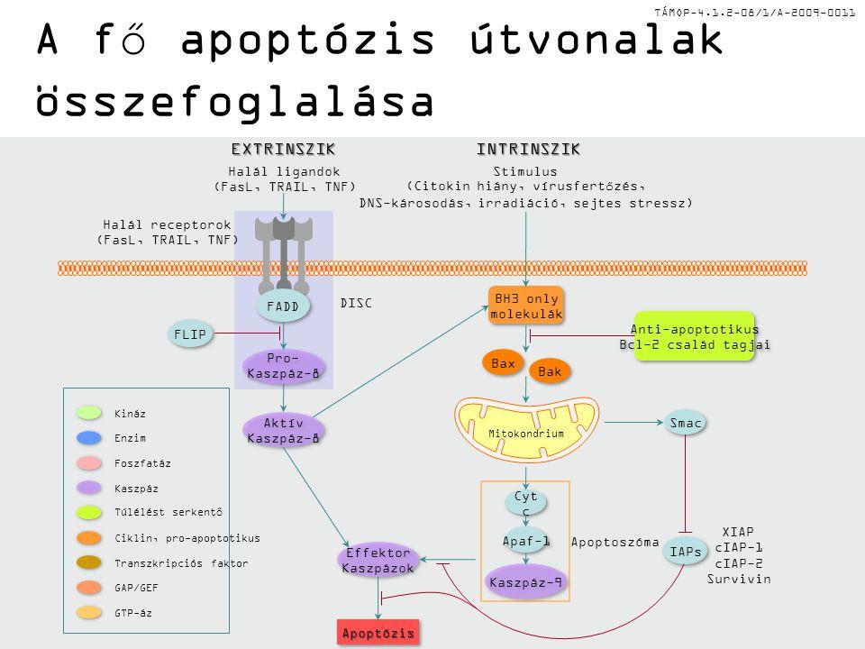 TÁMOP-4.1.2-08/1/A-2009-0011 A fő apoptózis útvonalak összefoglalása Halál ligandok (FasL, TRAIL, TNF) Stimulus (Citokin hiány, vírusfertőzés, DNS-károsodás, irradiáció, sejtes stressz) Pro- Kaszpáz-8 Pro- Kaszpáz-8 FADD Kaszpáz-9 Cyt c Apaf-1 Smac FLIP Aktív Kaszpáz-8 Aktív Kaszpáz-8 Effektor Kaszpázok Effektor Kaszpázok Bax Bak BH3 only molekulák BH3 only molekulák Anti-apoptotikus Bcl-2 család tagjai Anti-apoptotikus Bcl-2 család tagjai Halál receptorok (FasL, TRAIL, TNF) Mitokondrium Apoptoszóma DISC IAPs ApoptózisApoptózis INTRINSZIKEXTRINSZIK XIAP cIAP-1 cIAP-2 Survivin Kináz Foszfatáz Enzim Ciklin, pro-apoptotikus Túlélést serkentő GTP-áz GAP/GEF Kaszpáz Transzkripciós faktor
