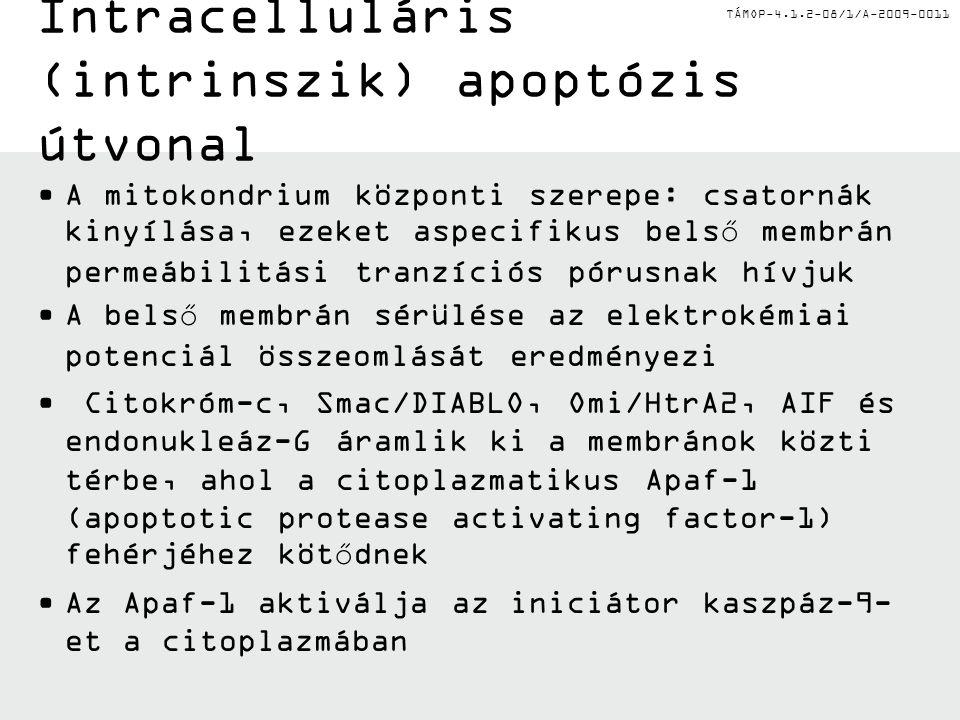 TÁMOP-4.1.2-08/1/A-2009-0011 Intracelluláris (intrinszik) apoptózis útvonal A mitokondrium központi szerepe: csatornák kinyílása, ezeket aspecifikus belső membrán permeábilitási tranzíciós pórusnak hívjuk A belső membrán sérülése az elektrokémiai potenciál összeomlását eredményezi Citokróm-c, Smac/DIABLO, Omi/HtrA2, AIF és endonukleáz-G áramlik ki a membránok közti térbe, ahol a citoplazmatikus Apaf-1 (apoptotic protease activating factor-1) fehérjéhez kötődnek Az Apaf-1 aktiválja az iniciátor kaszpáz-9- et a citoplazmában