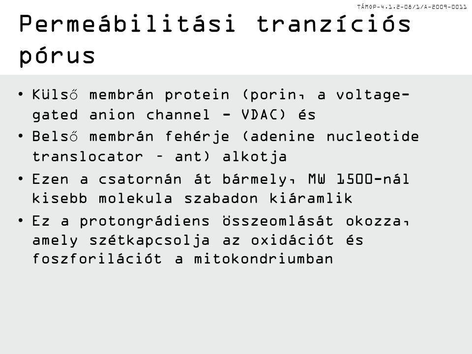 TÁMOP-4.1.2-08/1/A-2009-0011 Permeábilitási tranzíciós pórus Külső membrán protein (porin, a voltage- gated anion channel - VDAC) és Belső membrán fehérje (adenine nucleotide translocator – ant) alkotja Ezen a csatornán át bármely, MW 1500-nál kisebb molekula szabadon kiáramlik Ez a protongrádiens összeomlását okozza, amely szétkapcsolja az oxidációt és foszforilációt a mitokondriumban