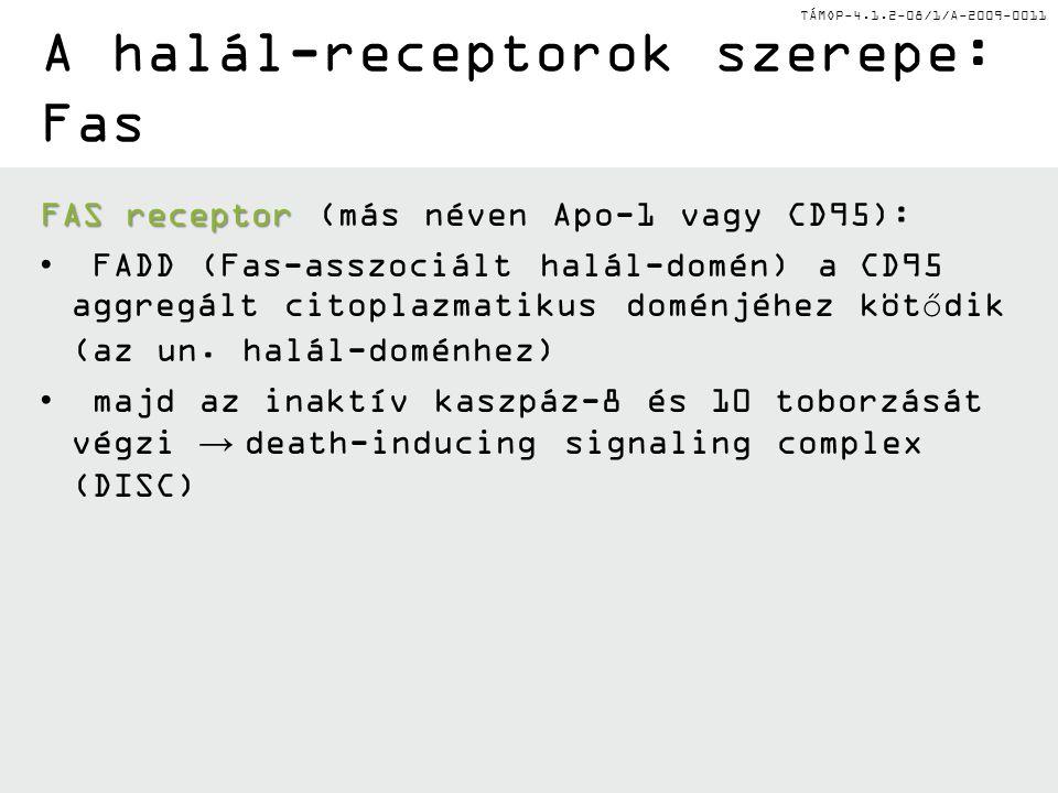 TÁMOP-4.1.2-08/1/A-2009-0011 A halál-receptorok szerepe: Fas FAS receptor FAS receptor (más néven Apo-1 vagy CD95): FADD (Fas-asszociált halál-domén) a CD95 aggregált citoplazmatikus doménjéhez kötődik (az un.