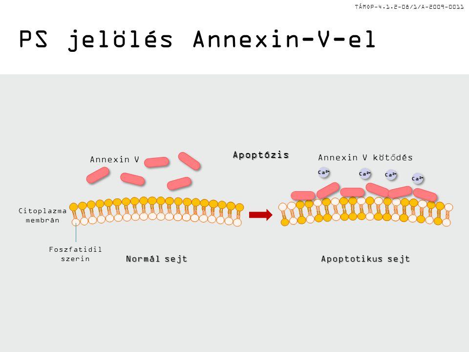 TÁMOP-4.1.2-08/1/A-2009-0011 PS jelölés Annexin-V-el Annexin V Normál sejt Citoplazma membrán Foszfatidil szerinApoptózis Apoptotikus sejt Annexin V kötődés Ca 2+