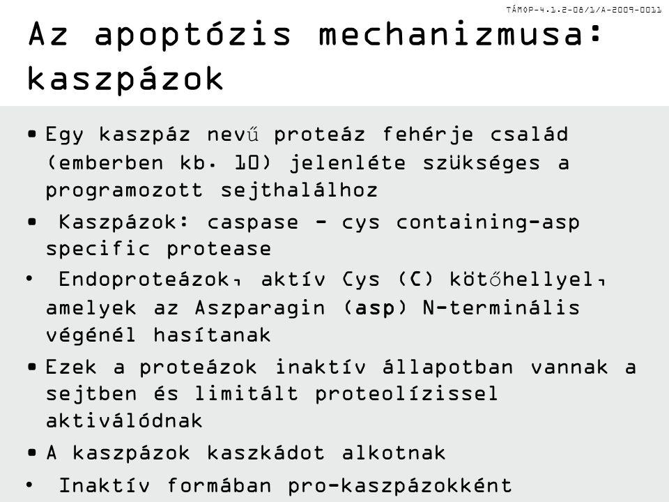 TÁMOP-4.1.2-08/1/A-2009-0011 Az apoptózis mechanizmusa: kaszpázok Egy kaszpáz nevű proteáz fehérje család (emberben kb.