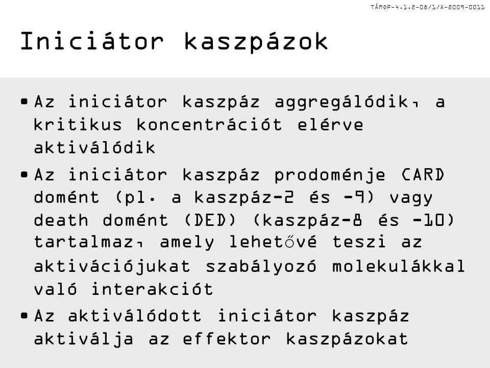 TÁMOP-4.1.2-08/1/A-2009-0011 Iniciátor kaszpázok Az iniciátor kaszpáz aggregálódik, a kritikus koncentrációt elérve aktiválódik Az iniciátor kaszpáz prodoménje CARD domént (pl.