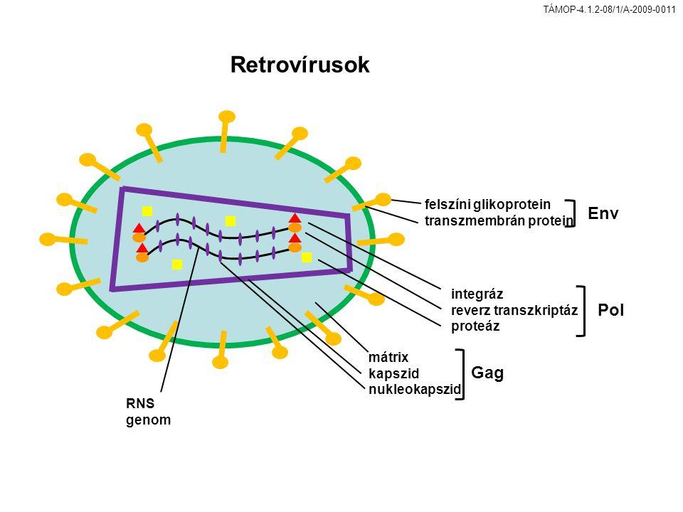 TÁMOP-4.1.2-08/1/A-2009-0011 Retrovírusok felszíni glikoprotein transzmembrán protein integráz reverz transzkriptáz proteáz mátrix kapszid nukleokapszid RNS genom Env Pol Gag