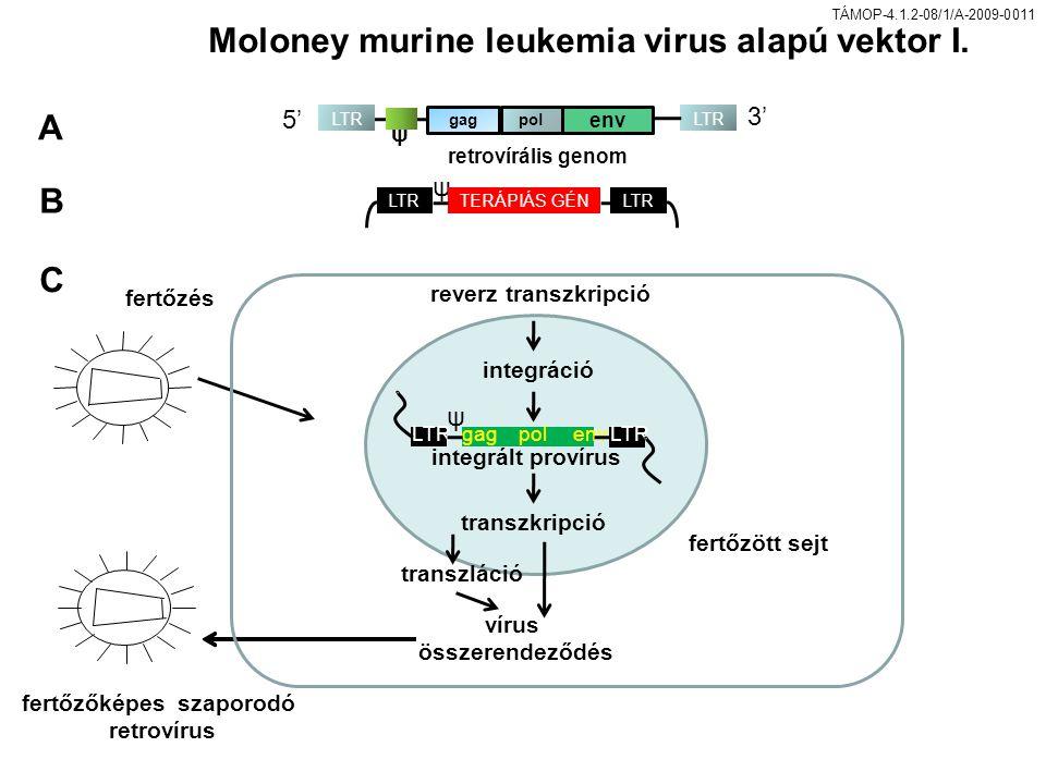TÁMOP-4.1.2-08/1/A-2009-0011 LTR gag pol env reverz transzkripció integráció integrált provírus transzkripció fertőzés fertőzött sejt fertőzőképes szaporodó retrovírus vírus összerendeződés ψ transzláció Moloney murine leukemia virus alapú vektor I.