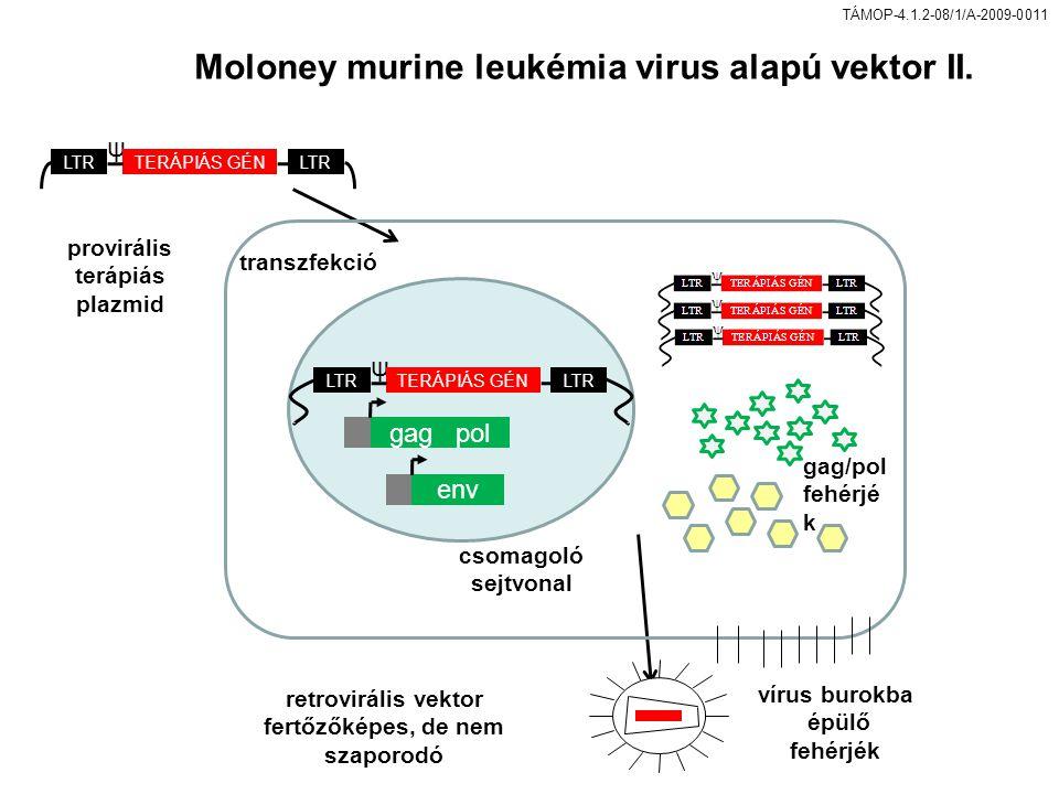 TÁMOP-4.1.2-08/1/A-2009-0011 transzfekció csomagoló sejtvonal retrovirális vektor fertőzőképes, de nem szaporodó ψ LTR TERÁPIÁS GÉN ψ LTR TERÁPIÁS GÉN provirális terápiás plazmid gag pol env gag/pol fehérjé k vírus burokba épülő fehérjék Moloney murine leukémia virus alapú vektor II.