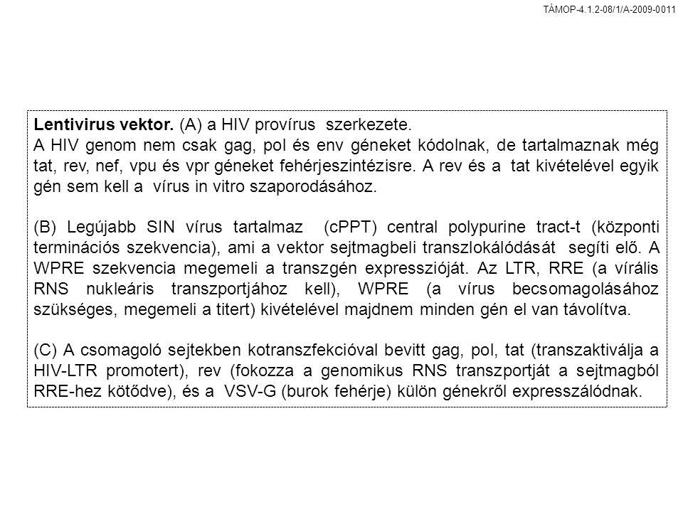 TÁMOP-4.1.2-08/1/A-2009-0011 Lentivirus vektor.(A) a HIV provírus szerkezete.