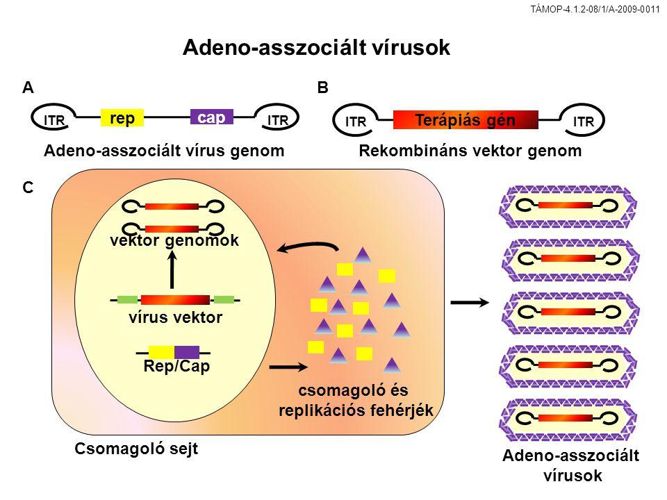 TÁMOP-4.1.2-08/1/A-2009-0011 Adeno-asszociált vírusok ITR Adeno-asszociált vírus genom cap ITR rep ITR Rekombináns vektor genom Terápiás gén ITR vektor genomok Rep/Cap vírus vektor Csomagoló sejt csomagoló és replikációs fehérjék Adeno-asszociált vírusok AB C