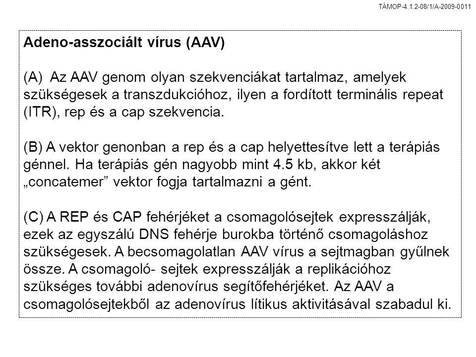 TÁMOP-4.1.2-08/1/A-2009-0011 Adeno-asszociált vírus (AAV) (A) Az AAV genom olyan szekvenciákat tartalmaz, amelyek szükségesek a transzdukcióhoz, ilyen a fordított terminális repeat (ITR), rep és a cap szekvencia.