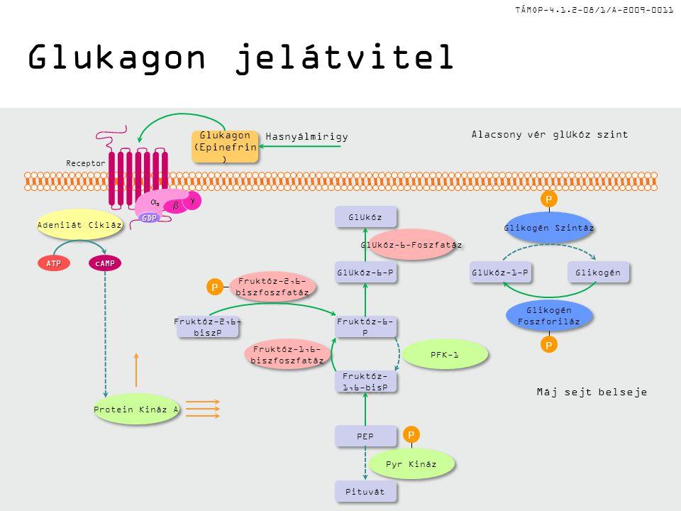 TÁMOP-4.1.2-08/1/A-2009-0011 Glukagon jelátvitel Hasnyálmirigy Alacsony vér glükóz szint Protein Kináz A Glükóz-6-Foszfatáz Pyr Kináz Fruktóz-2,6- biszfoszfatáz Fruktóz-2,6- biszfoszfatáz Pituvát PEP Fruktóz- 1,6-bisP Fruktóz-6- P Fruktóz-2,6- biszP Fruktóz-2,6- biszP Fruktóz-1,6- biszfoszfatáz Fruktóz-1,6- biszfoszfatáz PFK-1 Glükóz-6-P Glükóz Glükóz-1-P Glikogén Foszforiláz Glikogén Foszforiláz Glikogén Szintáz P P P P cAMPATP Adenilát Cikláz GDP   ss Glukagon (Epinefrin ) Glukagon (Epinefrin ) Receptor Máj sejt belseje