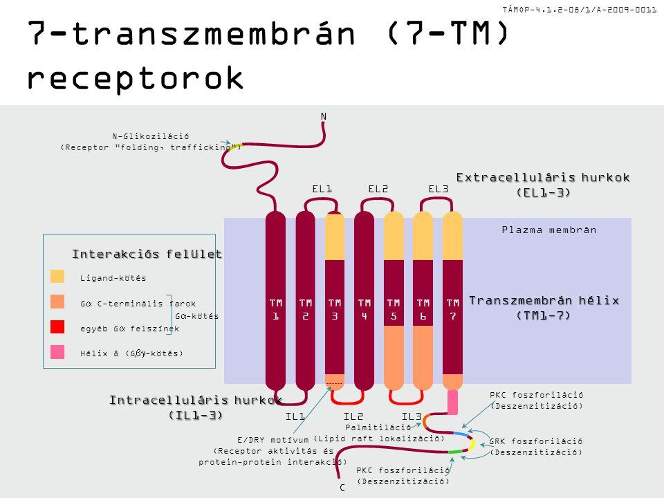 TÁMOP-4.1.2-08/1/A-2009-0011 7-transzmembrán (7-TM) receptorok Ligand-kötés G  C-terminális farok egyéb G  felszínek Hélix 8 (G  -kötés) G  -kötés Interakciós felület IL1IL2IL3 EL1EL3EL2 Extracelluláris hurkok (EL1-3) Intracelluláris hurkok (IL1-3) N C GRK foszforiláció (Deszenzitizáció) PKC foszforiláció (Deszenzitizáció) PKC foszforiláció (Deszenzitizáció) Palmitiláció (Lipid raft lokalizáció) N-Glikoziláció (Receptor folding, trafficking ) E/DRY motívum (Receptor aktivitás és protein-protein interakció) Plazma membrán TM 1 TM 2 TM 3 TM 4 TM 5 TM 6 TM 7 Transzmembrán hélix (TM1-7) TM 4