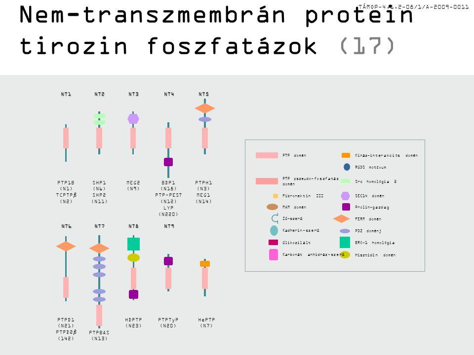 TÁMOP-4.1.2-08/1/A-2009-0011 RGDS motívum Prolin-gazdagMAM domén SEC14 doménFibronektin III FERM domén IG-szerű BRO-1 homológiaGlikozilált PDZ doménjKadherin-szerű Hisztidin doménKarbonát anhidráz-szerű Kináz-interakciós doménPTP domén Src homológia 2 PTP pszeudo-foszfatáz domén Nem-transzmembrán protein tirozin foszfatázok (17) HDPTP (N23) NT8 MEG2 (N9)NT3 HePTP (N7) PTPH1 (N3) MEG1 (N14)NT5 SHP1 (N6) SHP2 (N11)NT2 PTPBAS (N13) NT7 PTPD1 (N21) PTPD2  (142) NT6 PTP1B (N1) TCPTP  (N2)NT1 BDP1 (N18) PTP-PEST (N12) LYP (N220)NT4 PTPTyP (N20) NT9