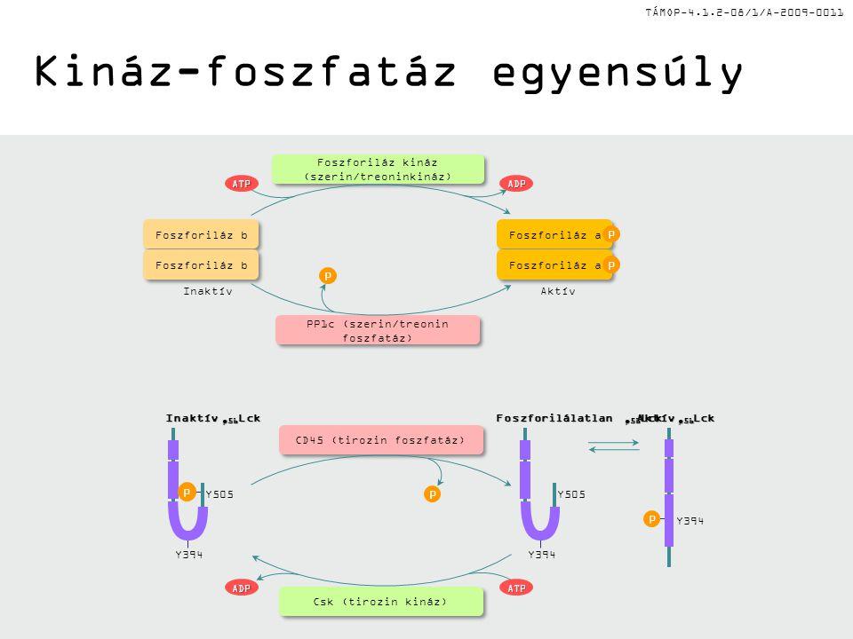 TÁMOP-4.1.2-08/1/A-2009-0011 Nátriuretikus peptid jelátvitel Deszenzitizált ↑NP degradáció ↓cAMP.