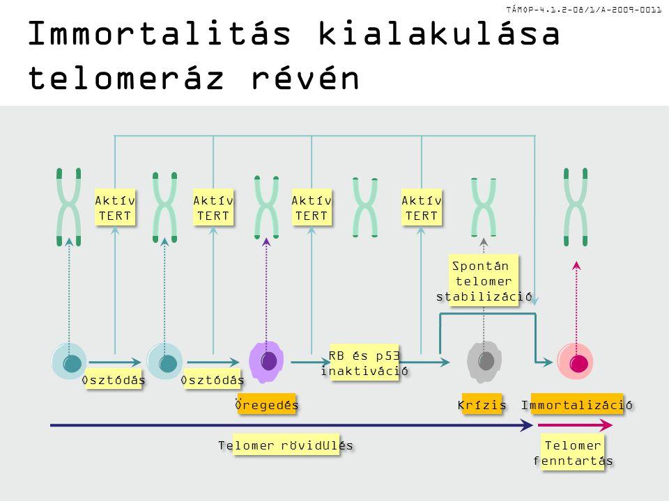 TÁMOP-4.1.2-08/1/A-2009-0011 Spontán telomer stabilizáció Spontán telomer stabilizáció Krízis Osztódás Aktív TERT Aktív TERT Osztódás Aktív TERT Aktív