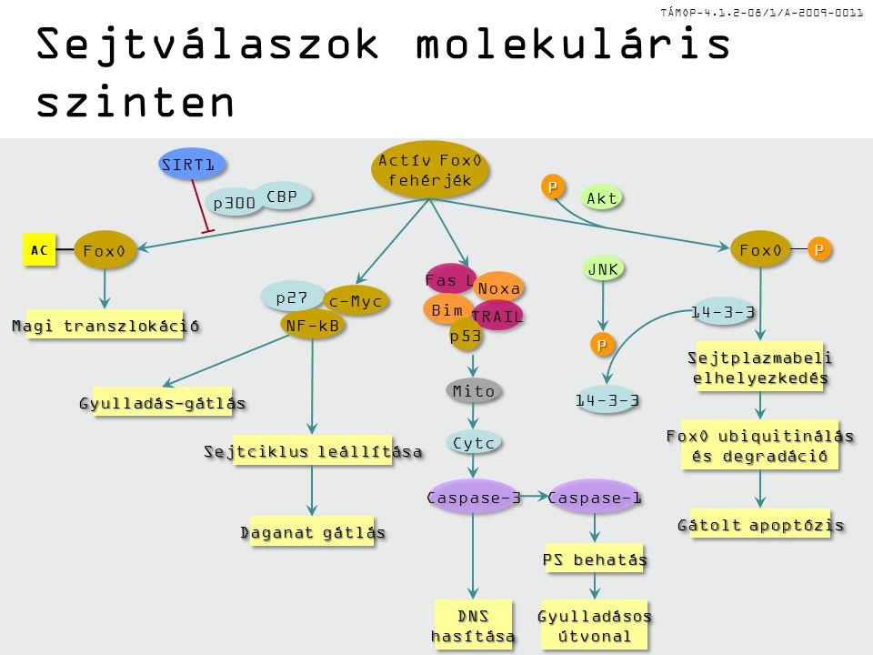 TÁMOP-4.1.2-08/1/A-2009-0011 Magi transzlokáció Gyulladás-gátlásGyulladás-gátlás Sejtciklus leállítása DNShasításaDNShasítása PS behatás Gyulladásosút