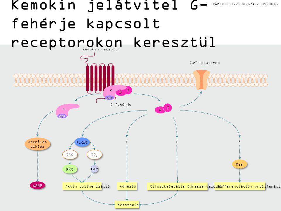 TÁMOP-4.1.2-08/1/A-2009-0011 Kemokin jelátvitel G- fehérje kapcsolt receptorokon keresztül Kemokin receptor Ca 2+ -csatorna G-fehérje cAMPcAMP Adenilát cikláz Adenilát cikláz Adhézió Kemotaxis .