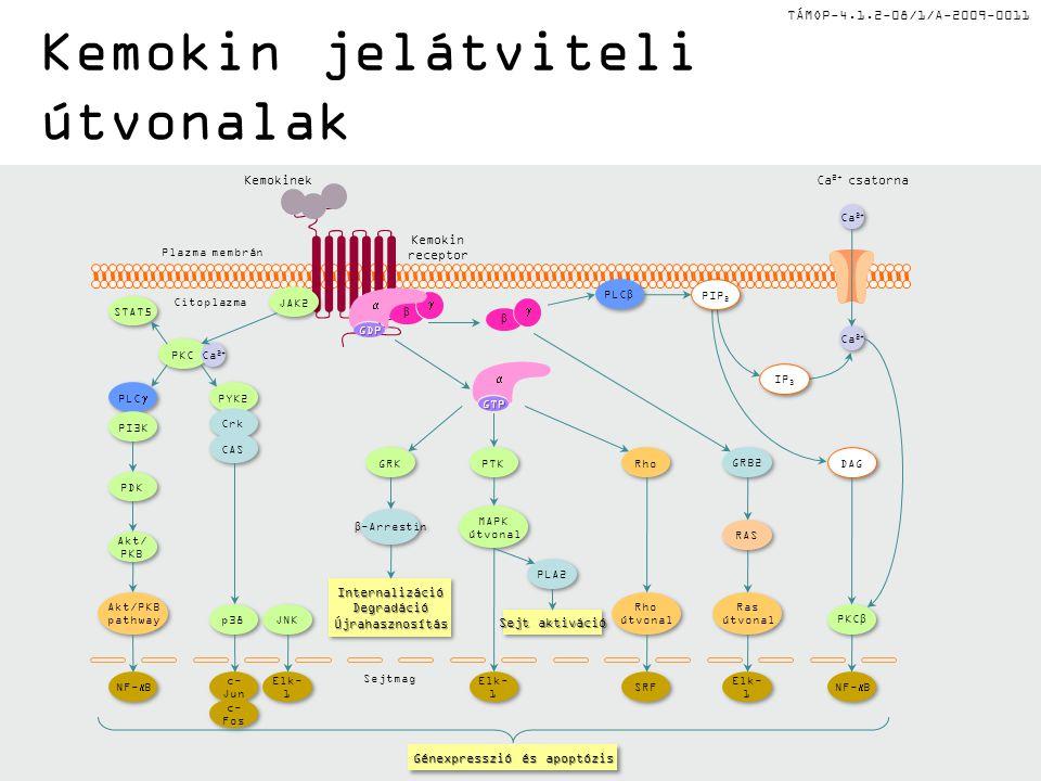 TÁMOP-4.1.2-08/1/A-2009-0011 Kemokin jelátviteli útvonalak Kemokin receptor Ca 2+ csatorna Génexpresszió és apoptózis Kemokinek Ca 2+ RAS DAG JNK p38 Ras útvonal Ras útvonal  β GRB2 NF-  B STAT5 GTP  Elk- 1 MAPK útvonal MAPK útvonal PTK Sejt aktiváció PLA2 Rho útvonal Rho útvonal Rho SRF InternalizációDegradációÚjrahasznosításInternalizációDegradációÚjrahasznosítás GRK β -Arrestin PLC β PKC β Akt/PKB pathway Akt/PKB pathway Akt/ PKB Akt/ PKB PDK NF-  B Elk- 1 Plazma membrán Citoplazma Sejtmag PIP 2 IP 3 GDP  β  JAK2