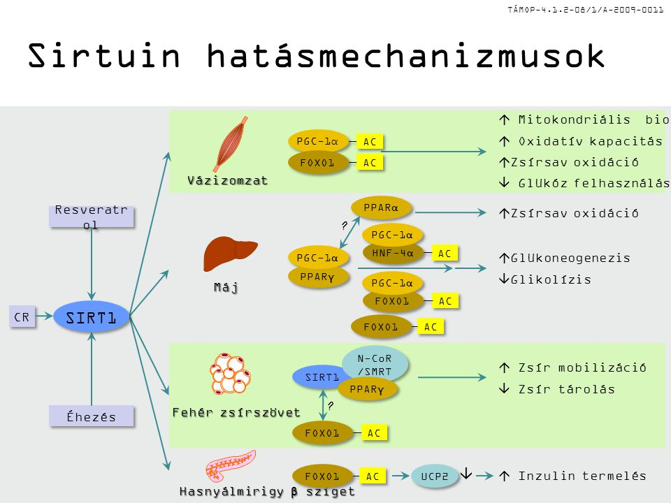 TÁMOP-4.1.2-08/1/A-2009-0011Máj Fehér zsírszövet Hasnyálmirigy β sziget Resveratr ol Éhezés CR SIRT1  Inzulin termelés  Mitokondriális biogenezis  Oxidatív kapacitás  Zsírsav oxidáció  Glükóz felhasználás  Zsír mobilizáció  Zsír tárolás Vázizomzat .