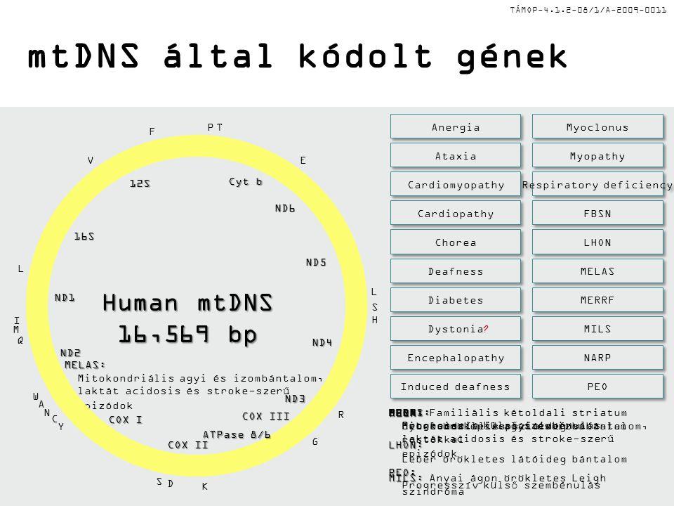 TÁMOP-4.1.2-08/1/A-2009-0011 Változatos szám és méret, dinamikus struktúrák (lefűződés, fúzió, szétválás) Magas metabolikus aktivitás, sejten belüli erőmű, fő ROS forrás és cél Magon kívüli, kettősláncú, zárt, cirkuláris mtDNS, hossza 16,569 bp mtDNS által kódolt 37 gén, 2 rRNS, 22 tRNS, 13 légzési lánc polipeptid Mitokondriumok és mtDNS jellemzői
