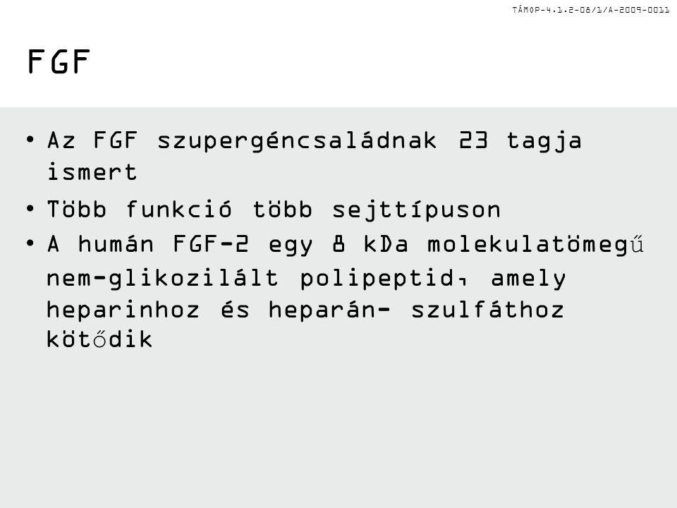 TÁMOP-4.1.2-08/1/A-2009-0011 FGF Az FGF szupergéncsaládnak 23 tagja ismert Több funkció több sejttípuson A humán FGF-2 egy 8 kDa molekulatömegű nem-glikozilált polipeptid, amely heparinhoz és heparán- szulfáthoz kötődik