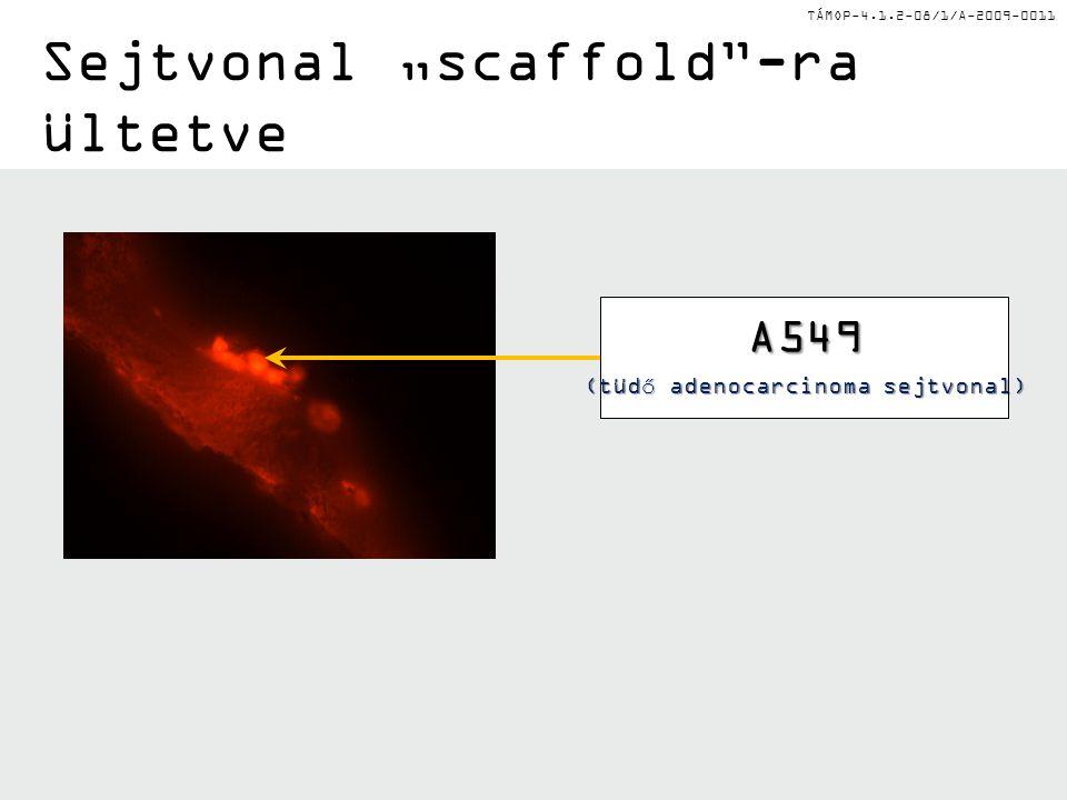 "TÁMOP-4.1.2-08/1/A-2009-0011 Sejtvonal ""scaffold -ra ültetve A549 (tüdő adenocarcinoma sejtvonal)"