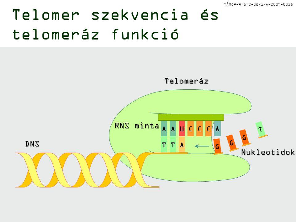TÁMOP-4.1.2-08/1/A-2009-0011 TT A G G T G DNS RNS minta Telomeráz Nukleotidok AAU CC C A Telomer szekvencia és telomeráz funkció