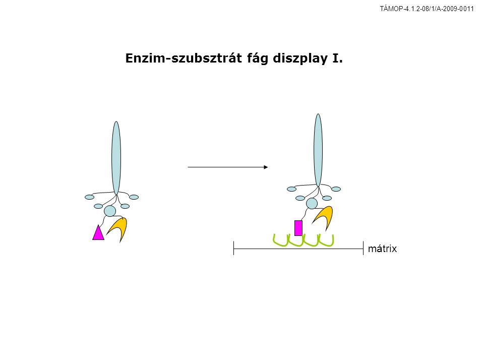 mátrix Enzim-szubsztrát fág diszplay I. TÁMOP-4.1.2-08/1/A-2009-0011