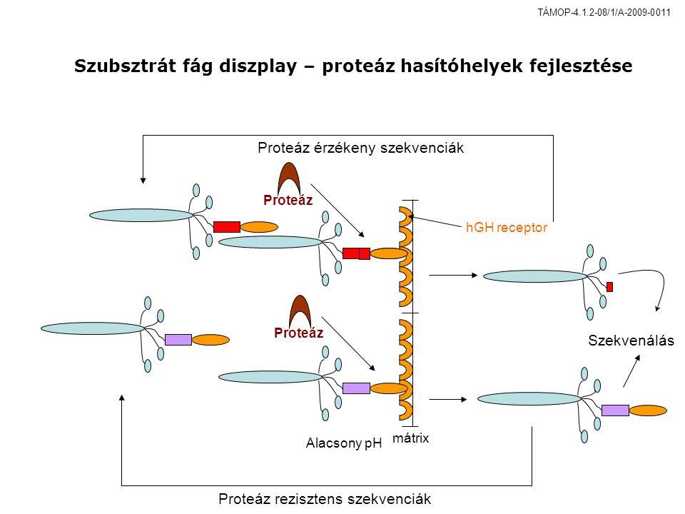 hGH receptor mátrix Proteáz Alacsony pH Proteáz rezisztens szekvenciák Proteáz érzékeny szekvenciák Szekvenálás Proteáz Szubsztrát fág diszplay – proteáz hasítóhelyek fejlesztése TÁMOP-4.1.2-08/1/A-2009-0011