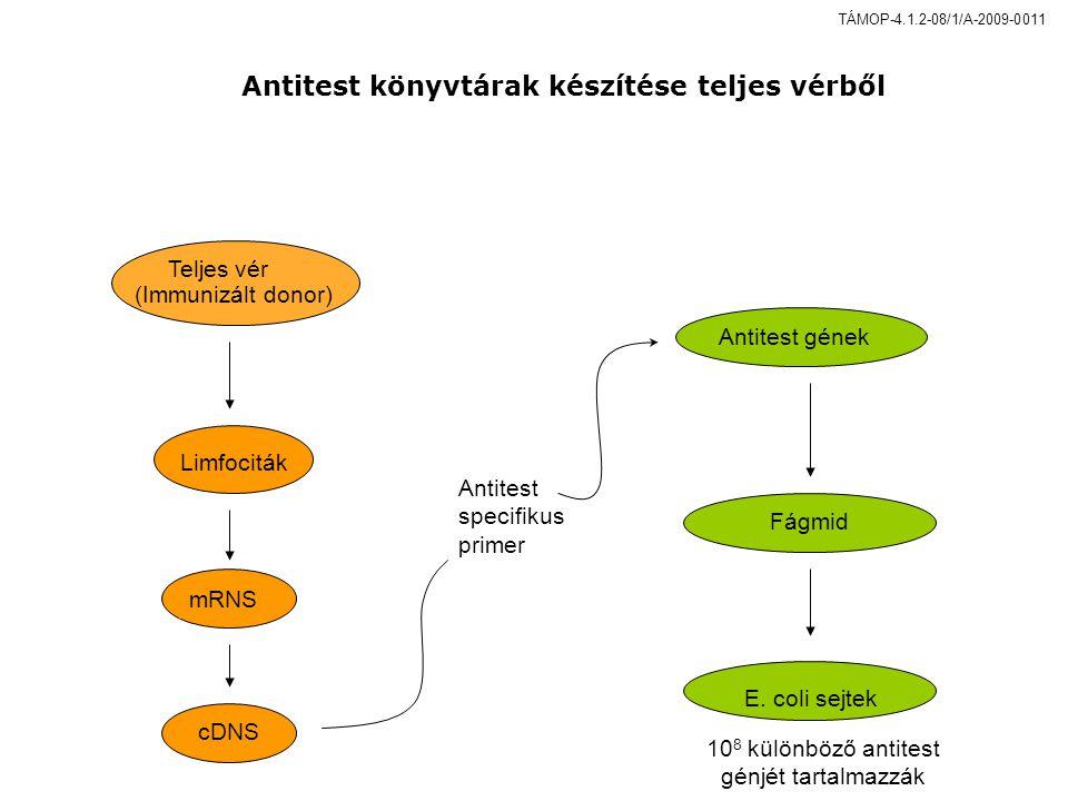 Limfociták mRNS cDNS Antitest specifikus primer Teljes vér (Immunizált donor) Antitest génekFágmid E.
