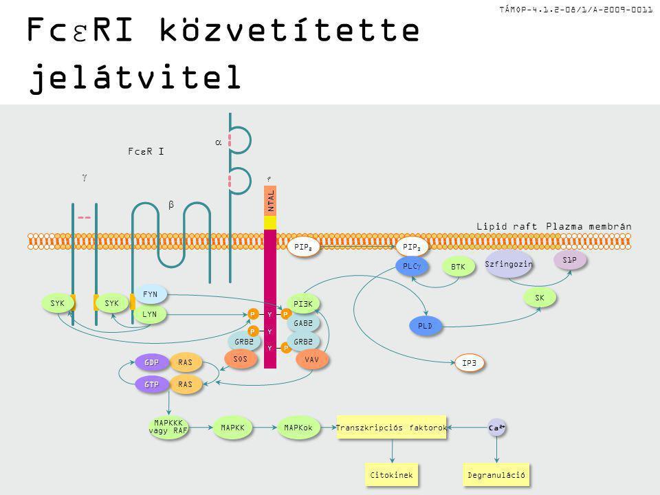 TÁMOP-4.1.2-08/1/A-2009-0011 FcεRI közvetítette jelátvitel PIP 3 BTK Szfingozin SK PLD IP3 PIP 2 RAS MAPKKK vagy RAF MAPKKK vagy RAF MAPKK MAPKok Citokinek Degranuláció Transzkripciós faktorok Plazma membránLipid raft GRB2 SOS NTAL .