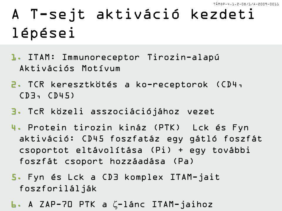 TÁMOP-4.1.2-08/1/A-2009-0011 A T-sejt aktiváció kezdeti lépései 1. 1. ITAM: Immunoreceptor Tirozin-alapú Aktivációs Motívum 2. 2. TCR keresztkötés a k