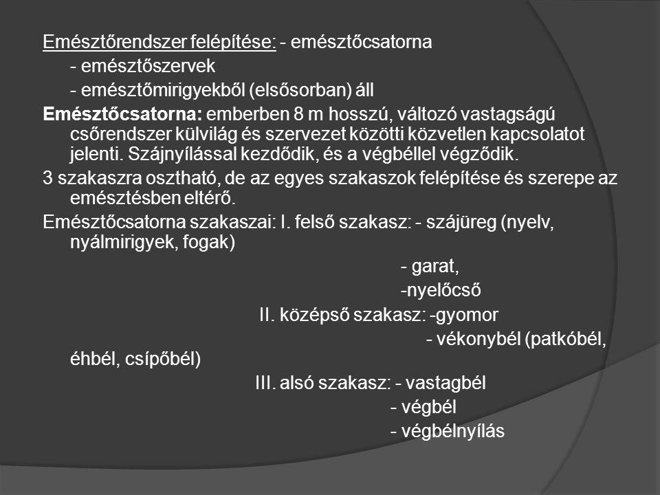 Emésztőrendszer felépítése: - emésztőcsatorna - emésztőszervek - emésztőmirigyekből (elsősorban) áll Emésztőcsatorna: emberben 8 m hosszú, változó vas