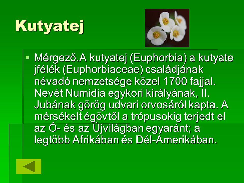 Kutyatej  Mérgező.A kutyatej (Euphorbia) a kutyate jfélék (Euphorbiaceae) családjának névadó nemzetsége közel 1700 fajjal. Nevét Numidia egykori kirá