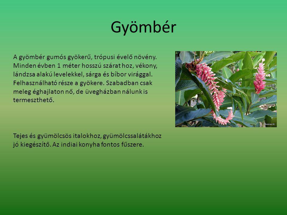Gyömbér A gyömbér gumós gyökerű, trópusi évelő növény.