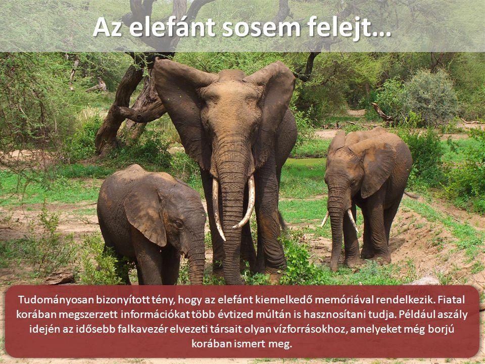 Az elefánt sosem felejt… Tudományosan bizonyított tény, hogy az elefánt kiemelkedő memóriával rendelkezik.